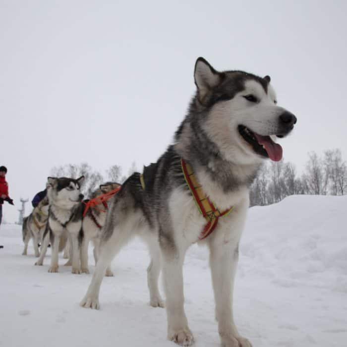 Катание на собаках в загородном отеле ГРУМАНТ Resort & SPA, недалеко от Москвы, Тула, д. Грумант